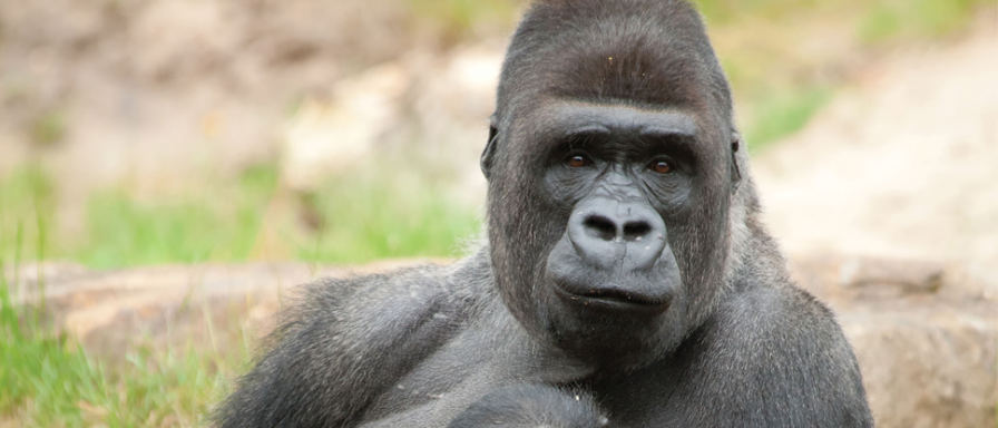 photo of gorilla