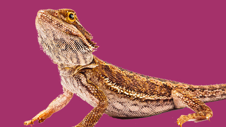 A bearded dragon against a magenta background