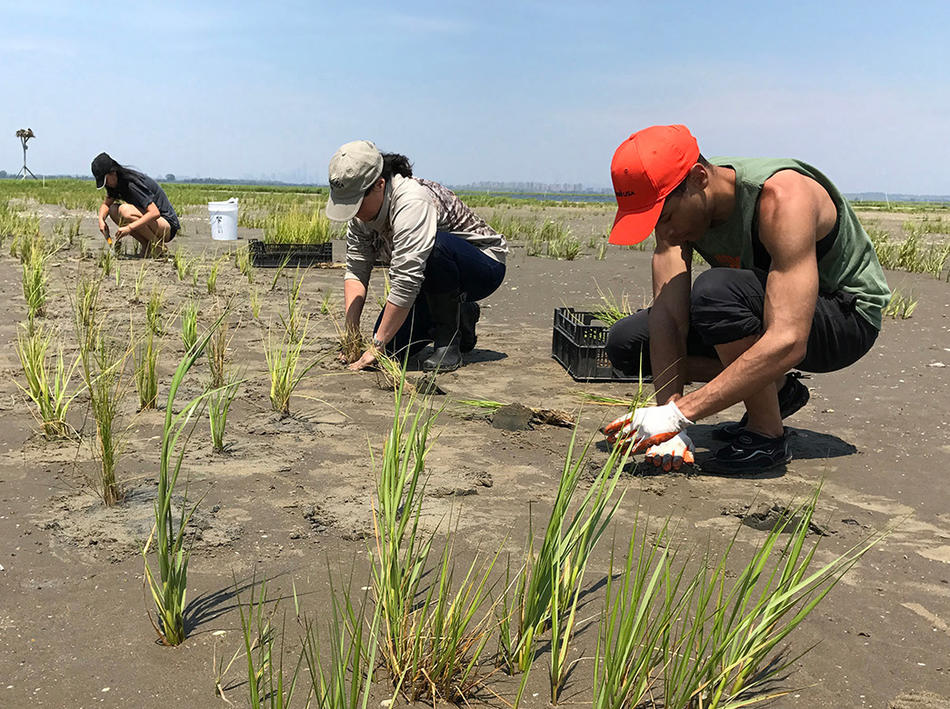 Scientists planting cordgrass to reduce erosion in New York's Jamaica Bay salt marsh