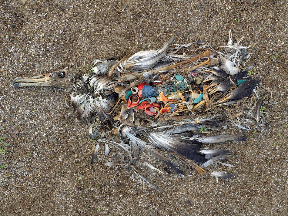 A dead albatross on Midway Atoll in the North Pacific, its body full of plastic trash