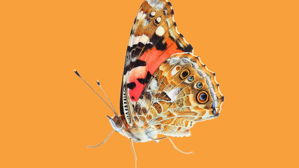A painted lady butterfly over an orange background