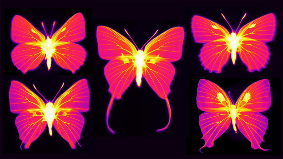 Thermal images of butterflies created by Columbia physicist Nanfang Yu